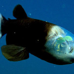 barreleye1-350