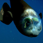 barreleye2-350