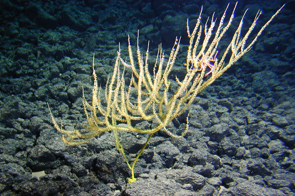 New genus of bamboo coral from 1600 m depth off Hawaii