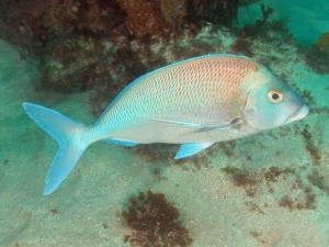 blue_morwong