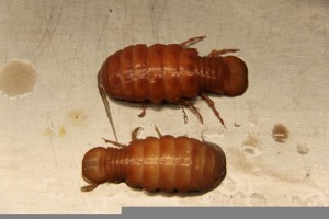 Isopods, Syscenus sp.