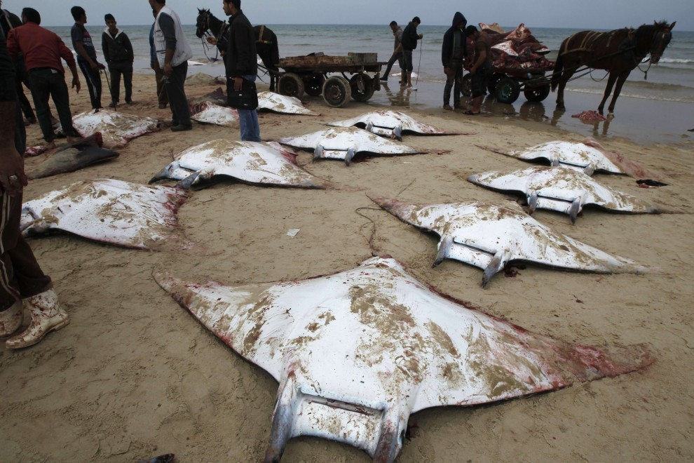 Dozens of large dead mobulid rays on a beach in Palestine. Click to go to Repubblica.it